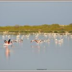 Les flamants roses en Tunisie
