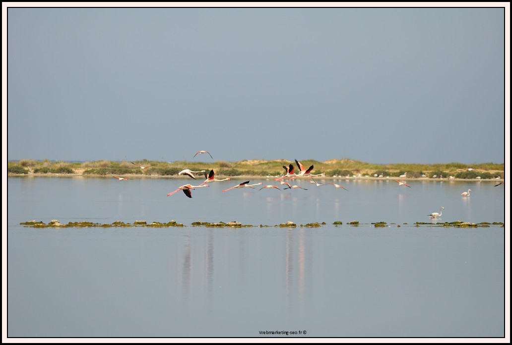 Flamants roses en Tunisie